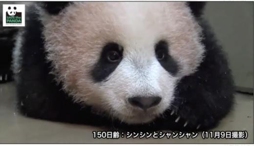 ジャイアントパンダ赤ちゃん「シャンシャン」のライブ映像が配信開始