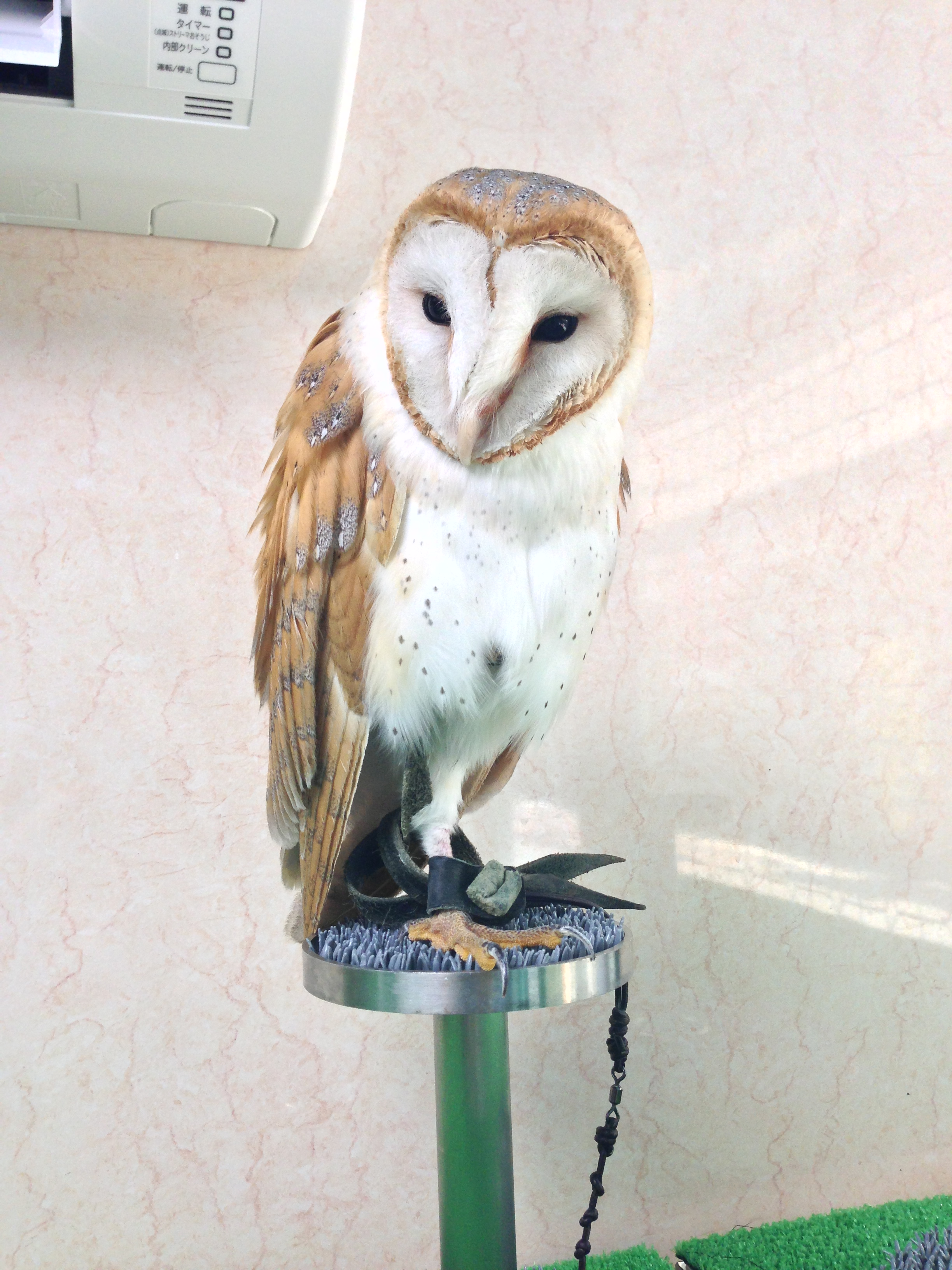 """[Koenji] Have fun while watching the owls at Owl Cafe """"Cafe Baron"""""""