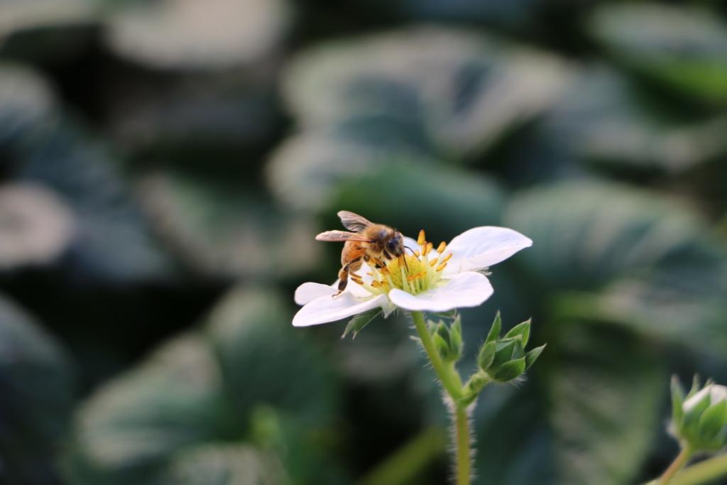 ミツバチが受粉のお仕事中。そっと見守りましょ^^