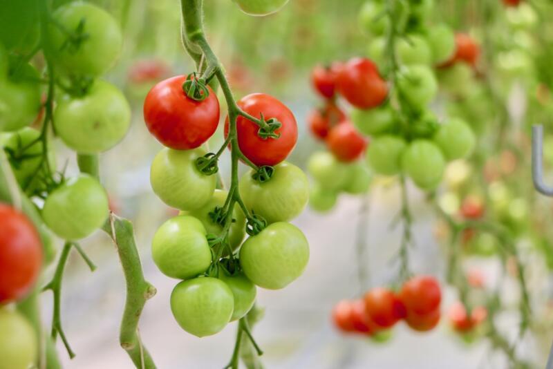 ワンダーファーム のトマト