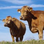 目線外した牛