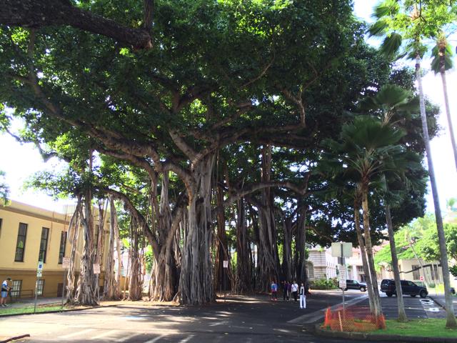カメハメハ大王像の隣にはこんな大きなガジュマルの木