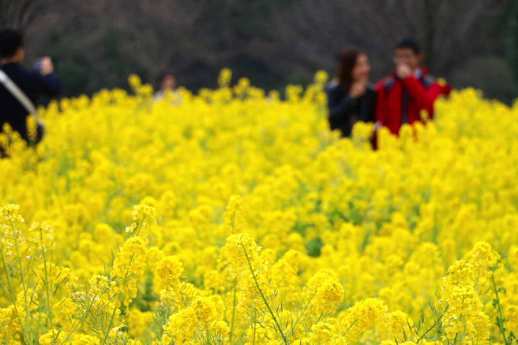 [Hamarikyu Garden Garden] A rape field in the middle of the city! Collaboration bloom with plum