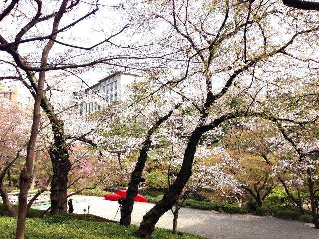 中庭の吉野桜