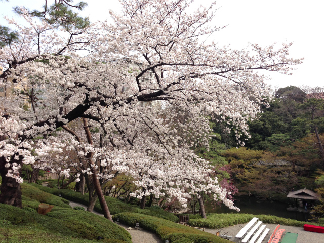 "Hanami Sanpo [Minato Ward Shirokanedai] The wedding hall ""Hachienen"" in full bloom of Sakura is wonderful"