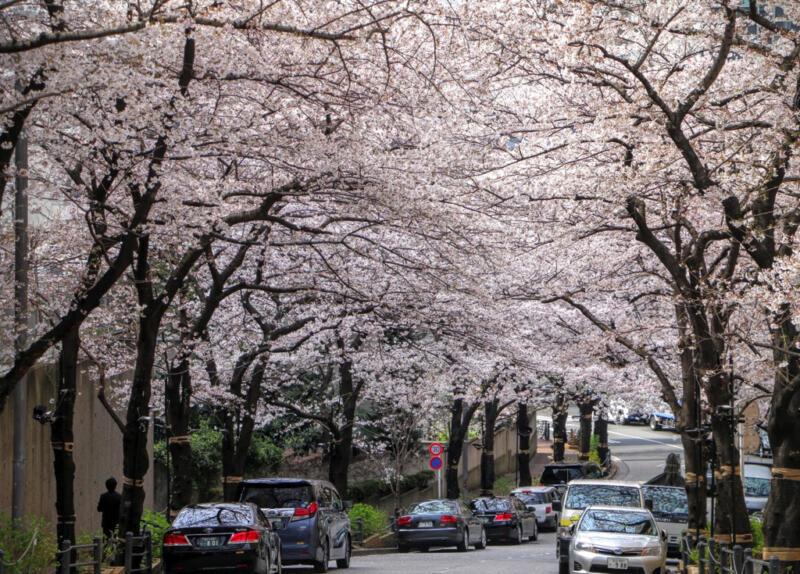六本木一丁目、スペイン坂の桜並木を花見さんぽしてきた