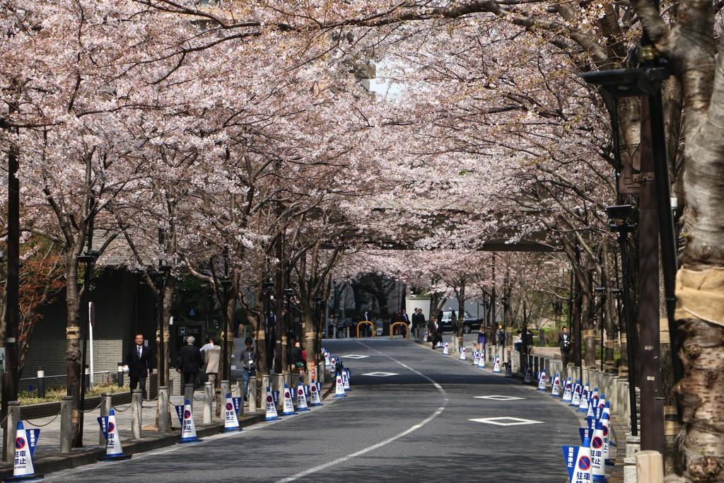 六本木一丁目周辺にある桜並木