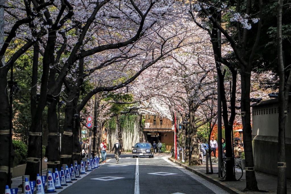 スペイン大使館沿いの桜並木