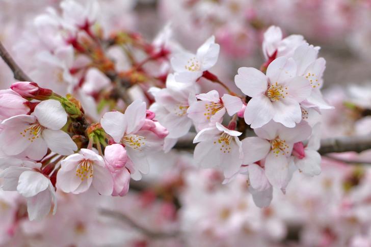 全国ブロガー桜リレー2017 #地域ブログ #桜 #Locketsリレー