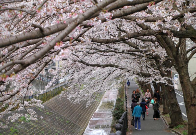 【ブロガー桜リレー】地元の桜をブログに書きませんか? #地域ブログ #桜 #Locketsリレー