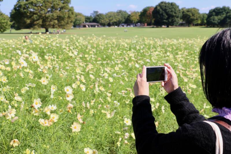 550万本のコスモスまつり!国営昭和記念公園を花見さんぽ【PR】  #多摩の魅力発信プロジェクト #たま発 #tamahatsu #立川