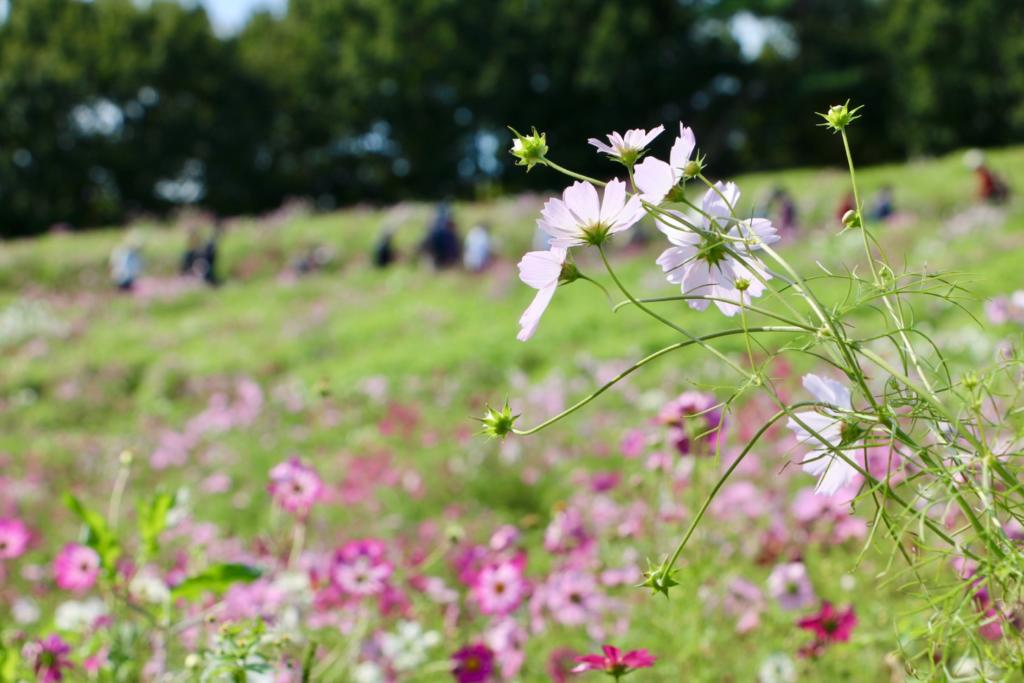 昭和記念公園コスモスまつり