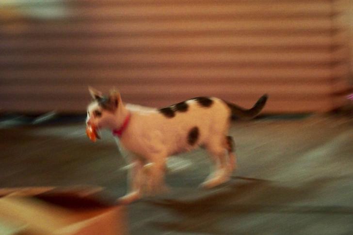 ハムをくわえて走り去る猫