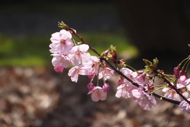 【上野恩賜公園】10種類の桜が見られる東京国立博物館「春の庭園開放」で花見さんぽ