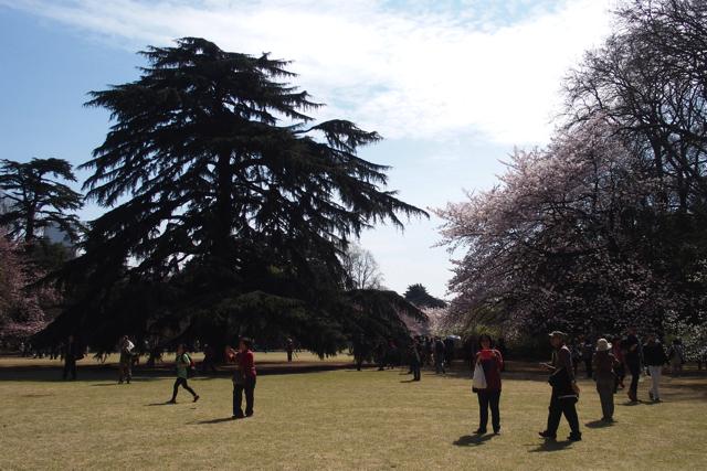 新宿御苑の1100本の桜の木