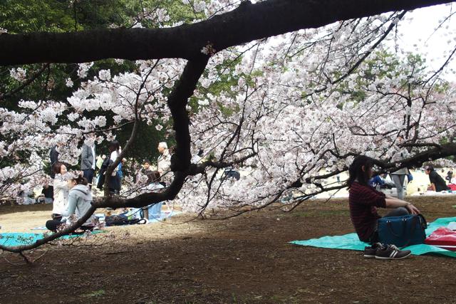 目線レベルで見られる桜