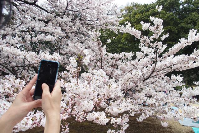 新宿御苑の桜は目線レベル