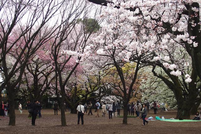 新宿御苑の桜の種類