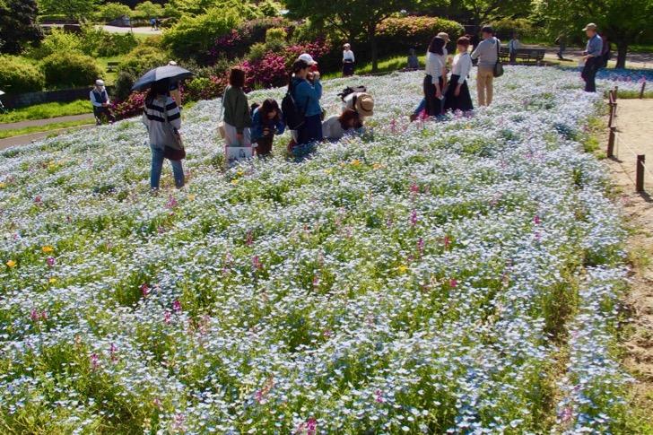 東京でもネモフィラ畑が見れる