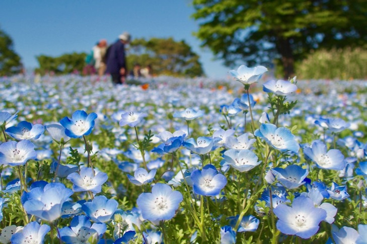 [The best time to GW] You can see beautiful nemophila even in Tokyo!