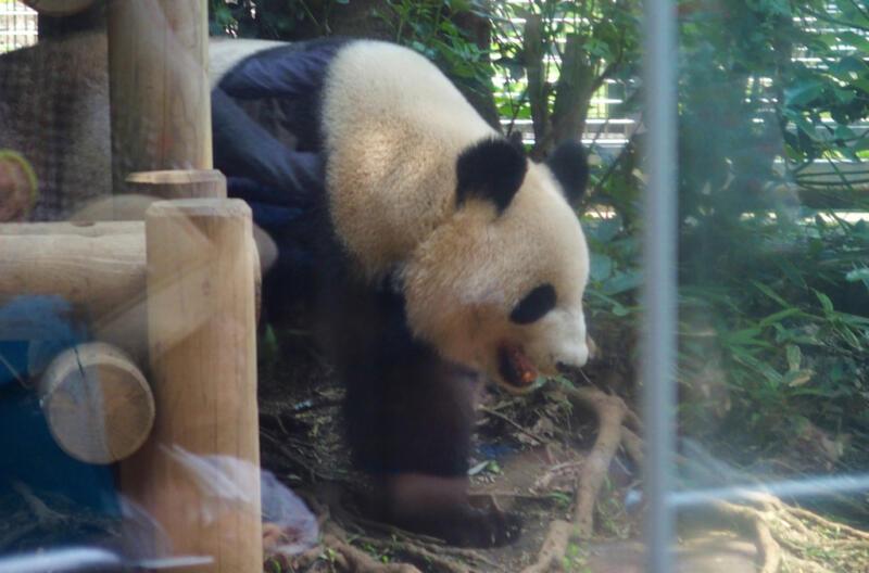 上野動物園のパンダの赤ちゃんの名前が香香(シャンシャン)に決定!10/1(日)は無料開放デー