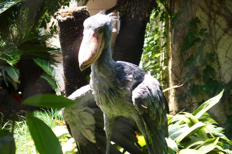 【恩賜上野動物園】憧れの怪鳥「ハシビロコウ」に会ってきた!