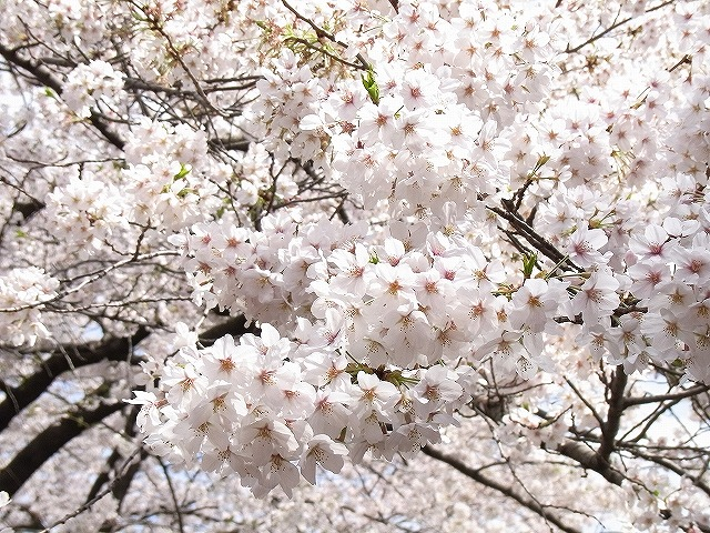 目黒川花見さんぽ2010
