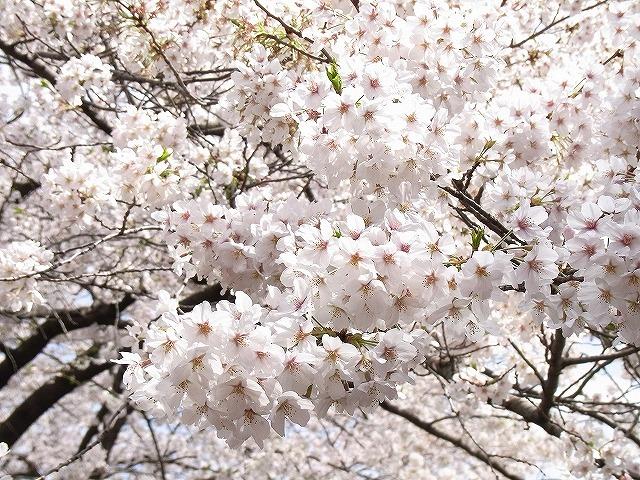 「目黒川さくらウオーキング」が4月1日に開催