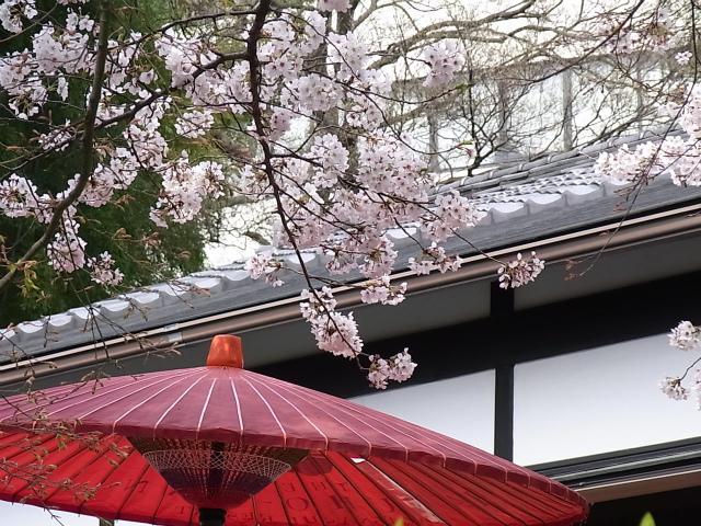 桜の木の下の和傘