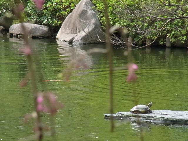 池といえばお約束の亀