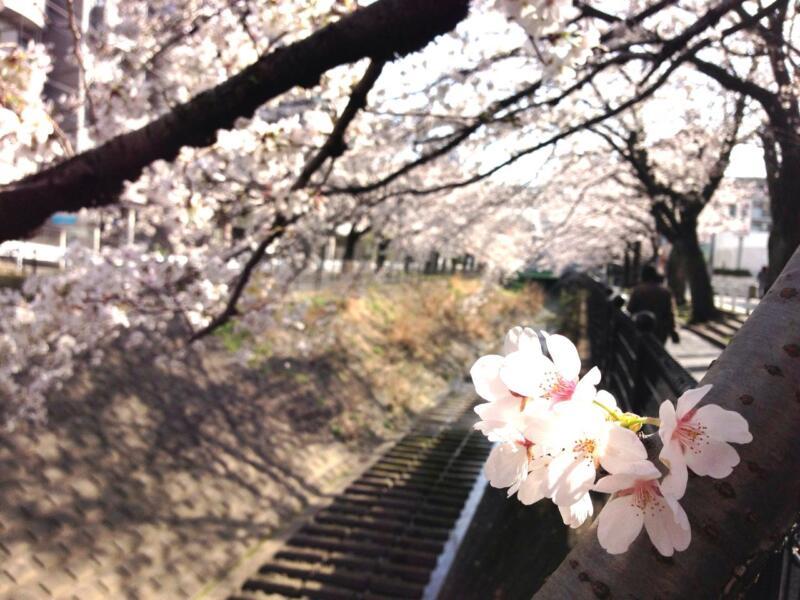 花満開そして新たなチャレンジ(週刊 東京散歩ぽ3/25)