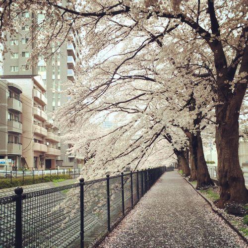 sakura咲く(週刊 東京散歩ぽ4/3)